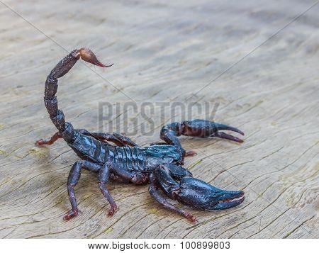 Emperor Scorpion ( Pandinus Imperator)