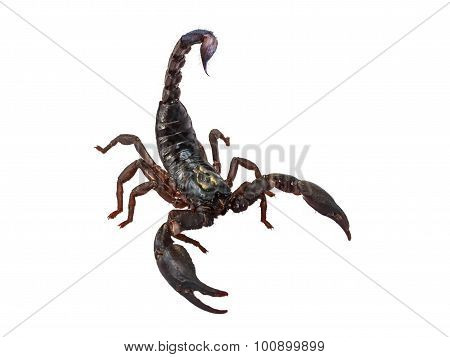 Scorpion Pandinus Imperator Isolated On White.