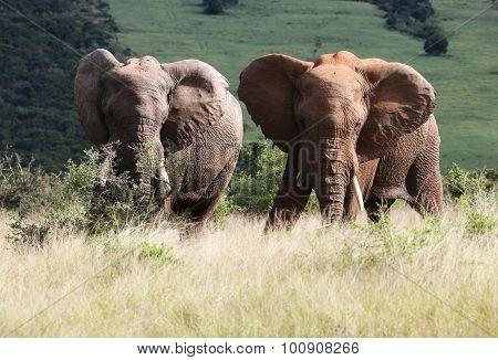 Wild African Bull Elephants