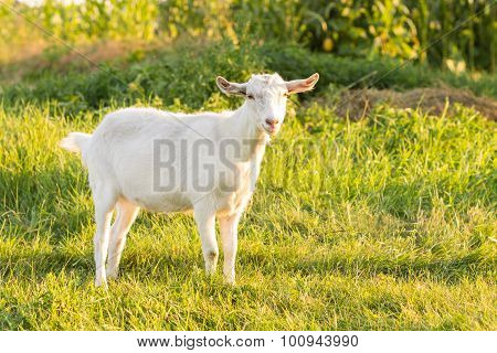 Young White Goat Grazing At The Meadow