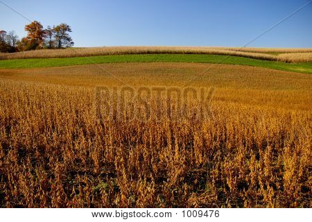 this is an example of a field planted with a crop of soybeans ready to harvest. poster