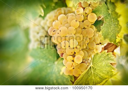 Grape Riesling in vineyard