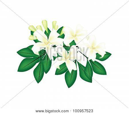 Orange Jessamine Or Mock Orange Flowers On White Background