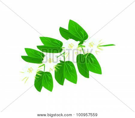 Beautiful Flower Illustration of Bauhinia Acuminata or Snowy Orchid Flowers on Green Leaves Isolated on A White Background poster