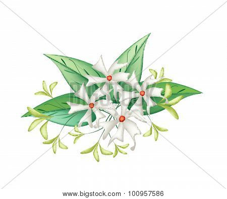 Beautiful Night Blooming Jasmine On White Background