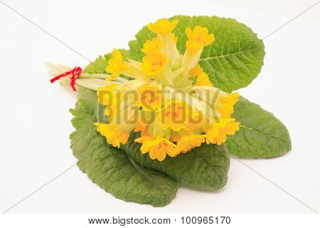 Flowers of cowslip Primula Veris medicinal plant and natural remedies poster
