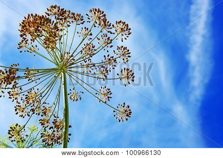 Close up of Dill flower .