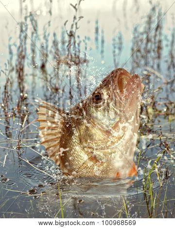 Big river perch (Perca fluviatilis). River predator poster