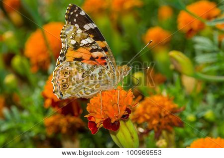 Painted Lady butterfly on a French marigold flower at fall season