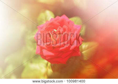 Beautiful red home rose in garden