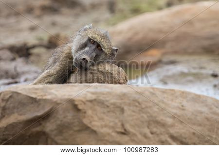 Tired Chacma Baboon Sit On Rocks To Rest After Hard Day