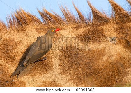 Red Billed Ox-pecker Sitting On A Giraffe Neck Hinting For Insects