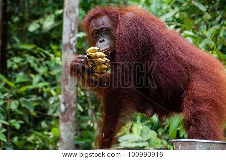 Orang Utan eating Bananas in Borneo Indonesia