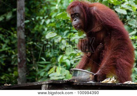 Orang Utan eating in Borneo Indonesia