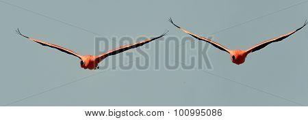 Flying Caribbean Flamingos (phoenicopterus Ruber)