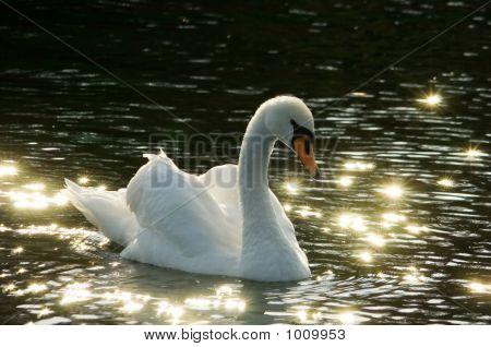 Romantic Swan
