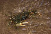 River Crab (Potamoidea family) sitting in the fresh stream. poster