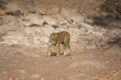 Wild bengal tiger looking for water early in the morning in the Ranthambhore park in India poster