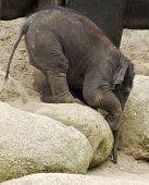 A baby Asian Elephant reaching for a peanut. poster