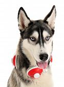 Beautiful huskies dog with headphones isolated on white poster