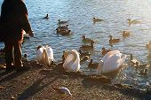 an old person is feeding breadcrumbs to the ducks and swans on a small lake in the park. poster