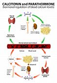 calcitonin and parathormone. Hormonal regulation of blood calcium levels. Regulation of calcium levels in the blood by CT from the thyroid gland and by PTH from the parathyroid glands. poster