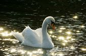 backlit mute swan (cygnus olor) on dark water bathing in golden light glowing star-shaped specular reflections on the surface create very romantic mood poster