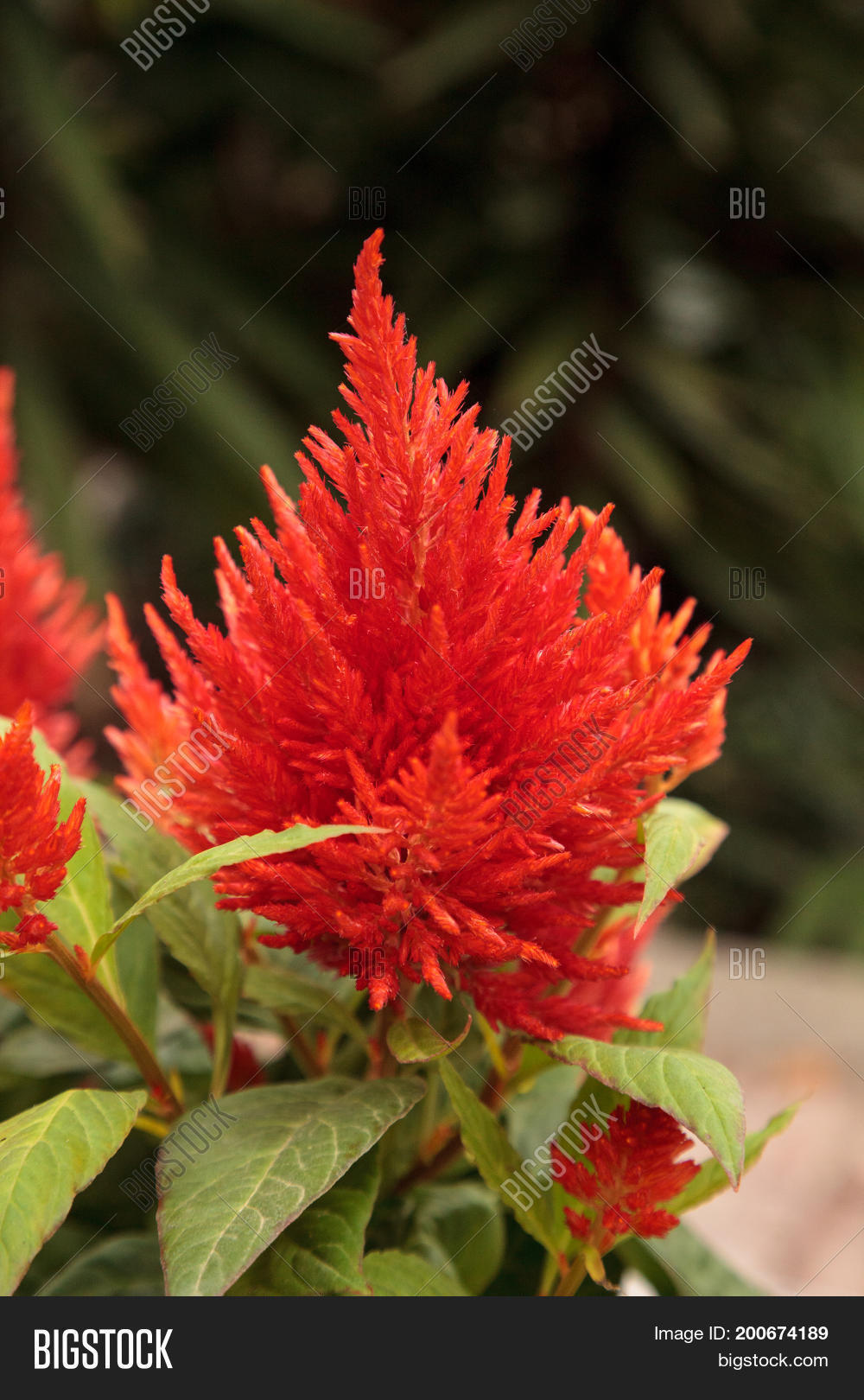 Red Flower Celosia Image Photo Free Trial Bigstock