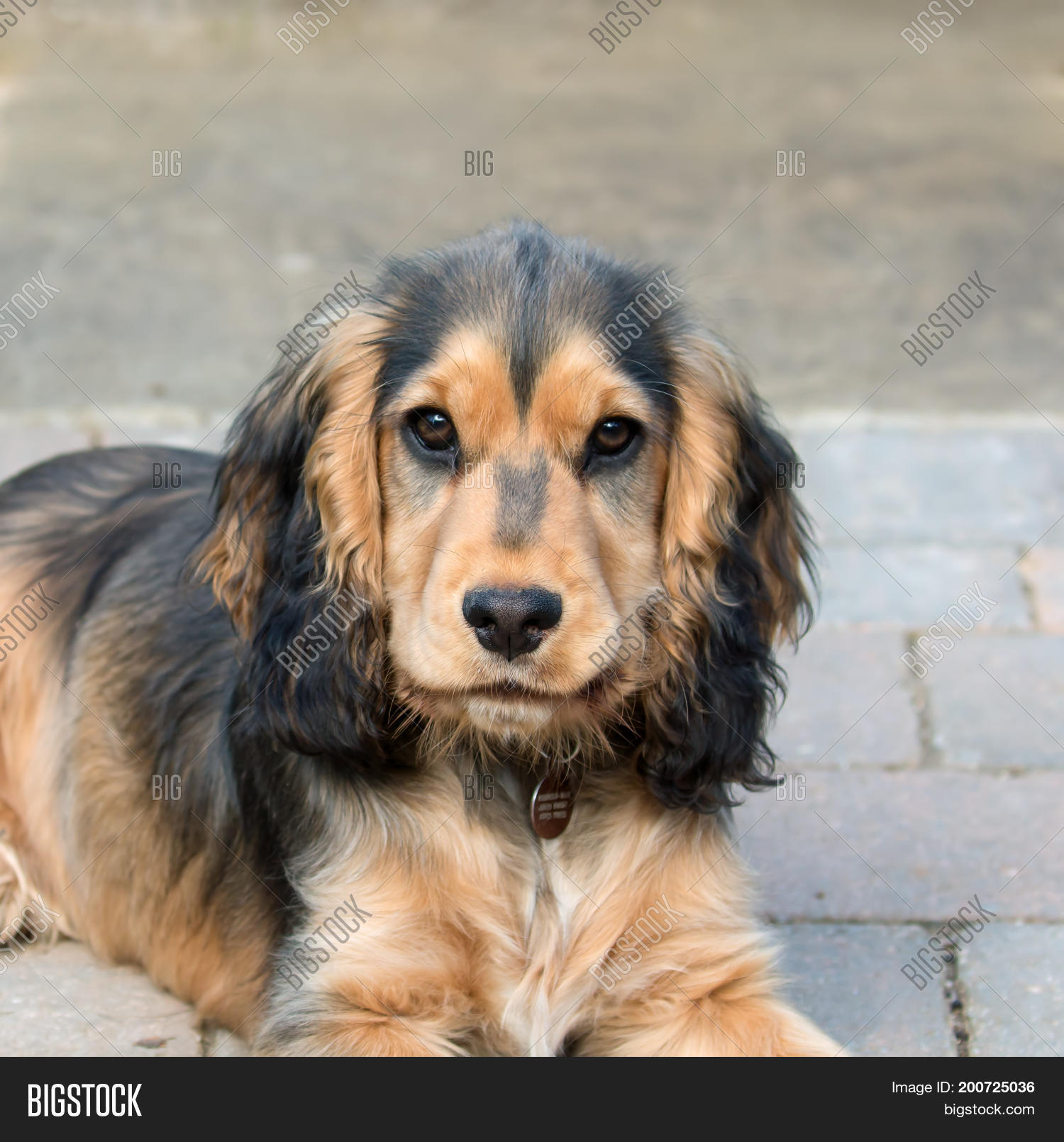 Five Month Old Sable Image Photo Free Trial Bigstock