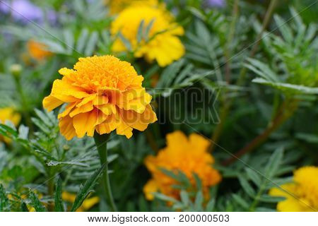 Flowers Tagetes. Green leaves in the background .