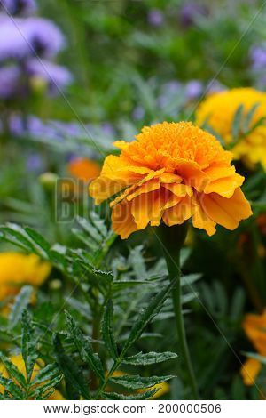Two yellow marigold is bloom on grout of trunk and leaf, There are fresh color, shape is round and very big