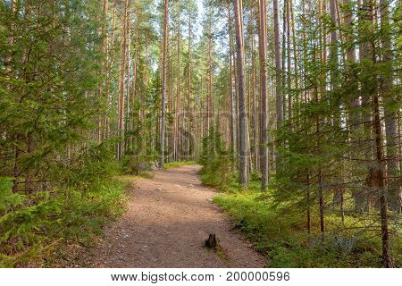 Walking path in pine tree forest at summer day