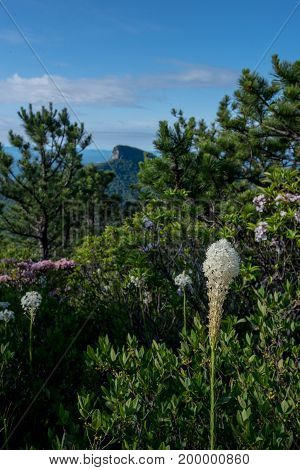 Bear Grass Blooms On Hawksbill Mountain