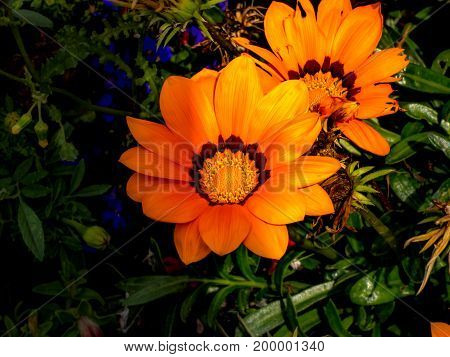 Orange African Daisys showing off their splendor.