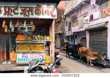 JODHPUR RAJASTHAN INDIA - MARCH 04 2016: Wide angle picture of cows and Juice Store in old Jodhpur the blue city of Rajasthan in India.