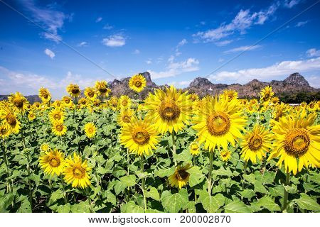 a Sunflower with blue sky in summer