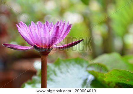 Beautiful water lily or pink lotus in the garden with sunlight background.
