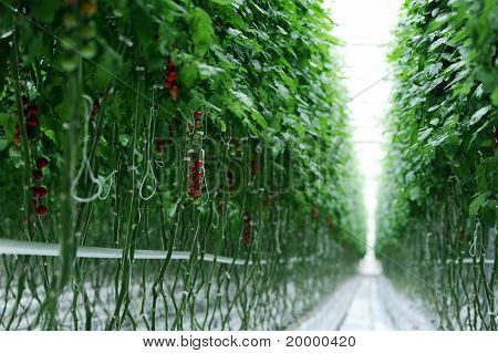 Branches With Tomatoes In A Room
