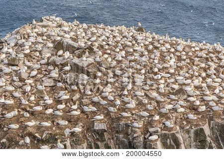 Gannet Birds On Cliffside