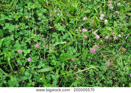 Red clover flowers (Trifolium pratense) bloom  in the Hammel Woods Forest Preserve, in Shorewood, Illinois, during July.