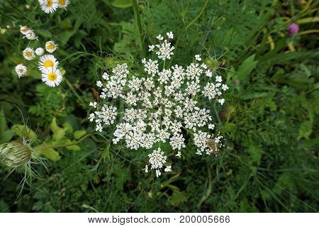 Queen Anne's Lace (Daucus Carota), also called the wild carrot, blooms  in the Hammel Woods Forest Preserve in Shorewood, Illinois, during July.