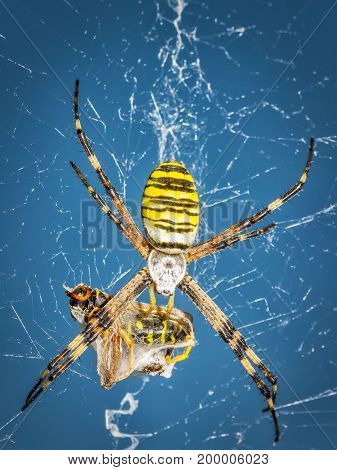Wasp spider, Argiope on web with its prey, close up