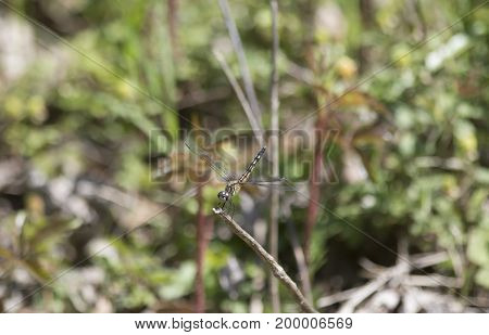 Female blue dasher dragonfly perched on a twig