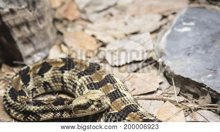 Weary canebrake rattlesnake (Crotalus horridus) preparing to strike