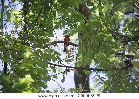 Bright red male cardinal perched on a tree limb
