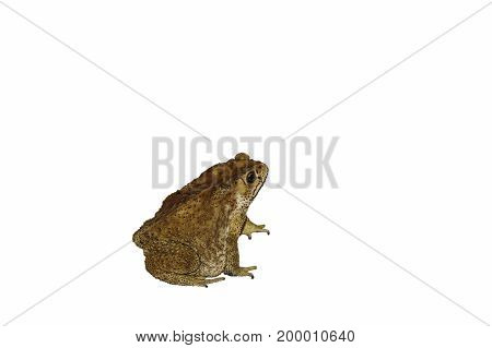 toad amphibian animal isolated in the white background
