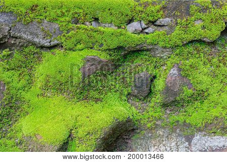 Green moss texture background on the rock in nature forest