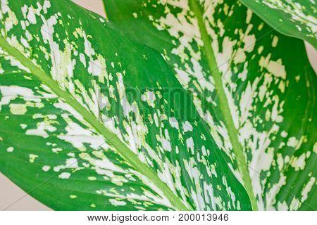 Closeup Green Dumb Cane leaf background. Dieffenbachia sp Araceae