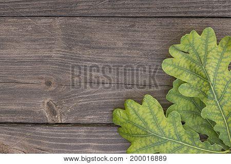 Green oak leaves on rustic wooden background.