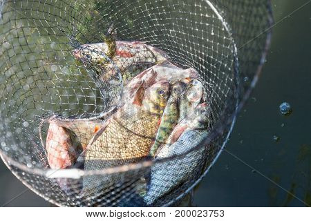 Fish catch in Keep Net many bream and perches in mesh bag which fisherman caught from the river